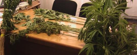 """Pronađeno i oduzeto 27 stabljika """"Canabis sative"""""""